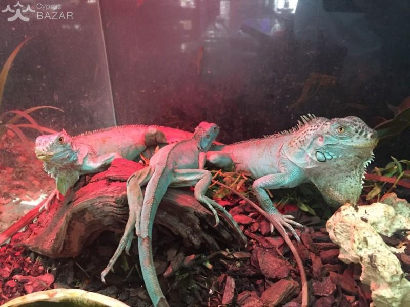 Blue Iguana For Sale : Blue head florida iguana tortoise breeders
